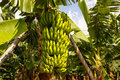 Bananas growing puerto de la cruz tenerife canary islands sp spain Stock Image