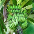 Bananas Ripening on the Tree Royalty Free Stock Photos