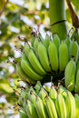 Bananas in the sunlight with a bogeh background shot of growing green it s tropical fruit Stock Photography