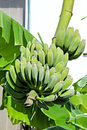 Bananas on tree bunch of ripening Stock Images