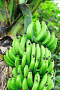 Bananas on tree green grow Royalty Free Stock Image