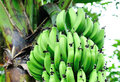 Bananas on tree green grow Stock Images