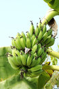 Bananas tree green unripe in the farm of thailand Royalty Free Stock Image