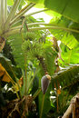 Bananas unripe growing on tree Stock Photo