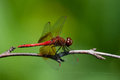 Band winged meadowhawk perched on a branch Royalty Free Stock Images