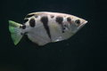 Banded archerfish the in water Stock Photo
