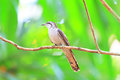 Banded bay cuckoo or cacomantis sonneratii in sri lanka Stock Image