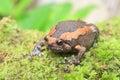 Banded bullfrog Royalty Free Stock Photo