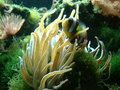 Banded Clownfish and Anemone Stock Image
