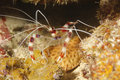 Banded coral shrimp,roatan,honduras striped prawn Royalty Free Stock Images