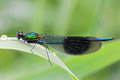 Banded damsel fly Royalty Free Stock Photos