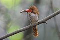 Banded Kingfisher Royalty Free Stock Image
