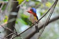 Banded Kingfisher (Male) Stock Photos