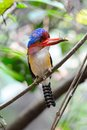 Banded Kingfisher (Male) Stock Photo