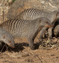 Banded Mongoose - Botswana. Royalty Free Stock Photography