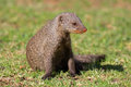 Banded mongoose mungos mungo southern africa Stock Photo