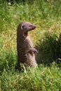 Banded mongoose mungos mungo staying in grass Royalty Free Stock Photos