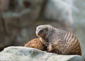 Banded mongoose two mongooses mungos mungo on a stone Stock Photo