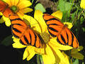 Banded Orange Butterflies Royalty Free Stock Image