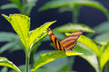 Banded Orange Heliconain Butterfly on Green Leaves Royalty Free Stock Photo