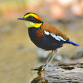 Banded pitta bird beautiful colorful guajana standing on the log breast profile Stock Photography