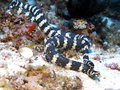 Banded sea krait in bohol phlippines islands Stock Photography