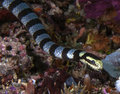 Banded sea snake with forked tongue image of venomous flickering its as it slithers through the reef Stock Photos