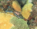 Banded sea snake Royalty Free Stock Photo