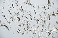 Bang poo thailand swarm of seagull flying bird in the blue sky at Royalty Free Stock Photography