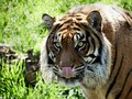 Bangle tiger at the perseverance zoo feeding time enjoying horse meat meat balls Royalty Free Stock Images