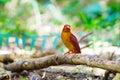 Bangsi di coromanda di ruddy kingfisher halcyon Immagine Stock