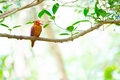 Bangsi di coromanda di ruddy kingfisher halcyon Fotografia Stock Libera da Diritti