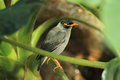 Bank myna sitting on the branch Stock Image