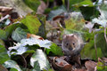 Bank vole myodes glareolus cute little with beady eyes sitting in between ivy leaves in autumn fall attentive mouse formerly Royalty Free Stock Photography