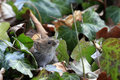 Bank vole myodes glareolus cute little with beady eyes sitting in between ivy leaves in autumn fall attentive mouse formerly Royalty Free Stock Image