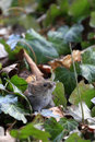 Bank vole myodes glareolus cute little with beady eyes sitting in between ivy leaves in autumn fall attentive mouse formerly Stock Images