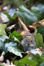 Bank vole myodes glareolus cute little with beady eyes sitting in between ivy leaves in autumn fall attentive mouse formerly Stock Photo