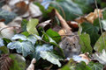 Bank vole myodes glareolus cute little with beady eyes sitting in between ivy leaves in autumn fall attentive mouse formerly Stock Photography