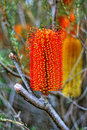 Banksia Royalty Free Stock Photo