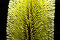 Banksia Flower Macro Black Background Royalty Free Stock Photo