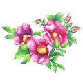 Banner with flowering pink roses names: dog rose, rosa canina, Japanese rose, Rosa rugosa, sweet briar, eglantine, isolated on w Royalty Free Stock Photo