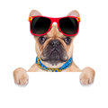Banner placard dog fawn french bulldog behind a white blank or on holidays isolated on white background Stock Photography