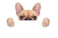 Banner placard dog fawn french bulldog behind a white blank or isolated on white background Stock Images