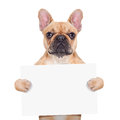 Banner placard dog fawn french bulldog holding a white blank or isolated on white background Stock Photography