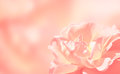 Banner with rose softness pink on pink background Stock Photos
