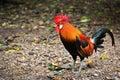 Bantam chicken Royalty Free Stock Photo