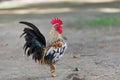 Bantam Chicken. Royalty Free Stock Photo