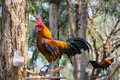 Bantam chicken on the tree Royalty Free Stock Photo