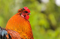 Bantam Cockerel Royalty Free Stock Images