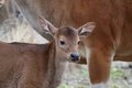 Banteng calf Stock Photos